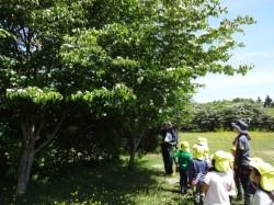 保育園と同じヤマボウシの木がいっぱい!